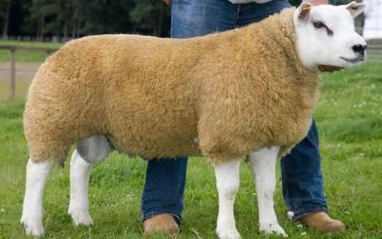 Most expensive Sheep: Deveronvale Perfection