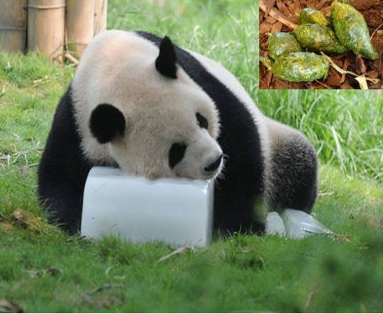 Chinese man makes world's most expensive tea using panda poo
