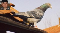 World's most expensive pigeon sold for $328,826 to Chinese billionaire